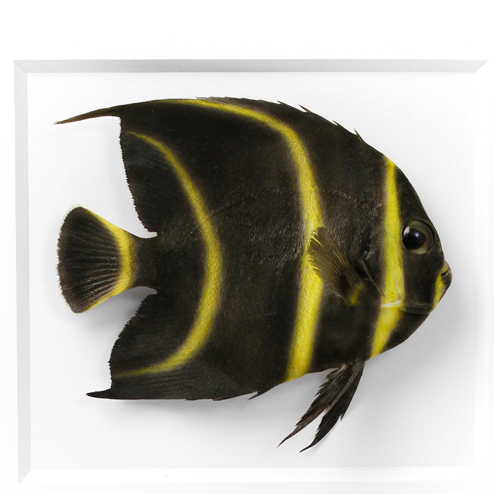 11 x 14 French Angelfish