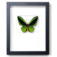 11 x 14 Greens Cairns Birdwing in Black
