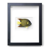 11 x 14 Queen Angelfish