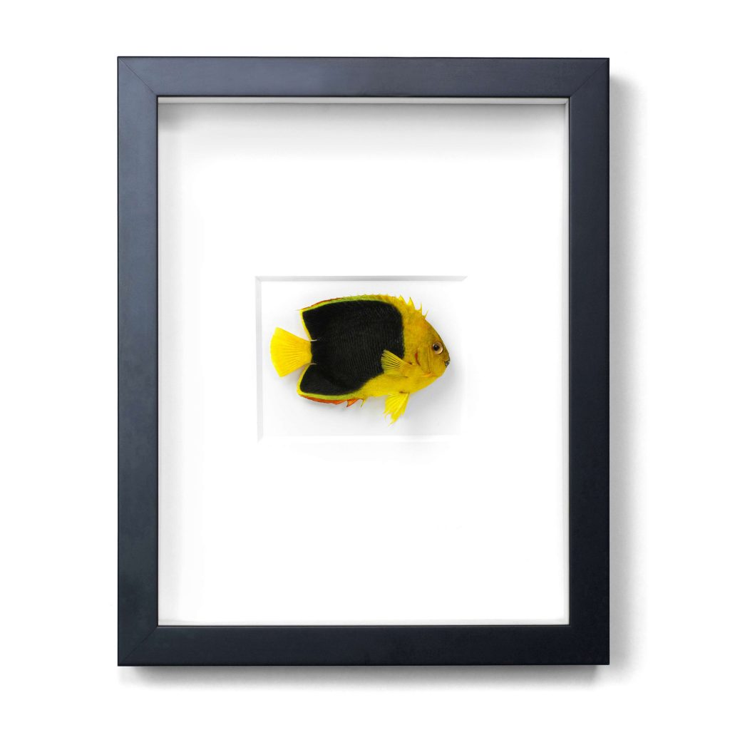 11 x 14 Rock Beauty Angelfish