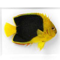 11 x 14 Rock Beauty Angelfish 2