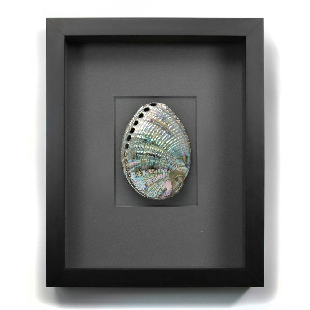 11 x 14 Silver Abalone