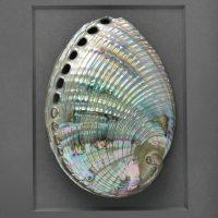 11 x 14 Silver Abalone 2