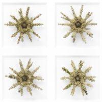 11 x 14 Sputnik Urchin Mosaic 2