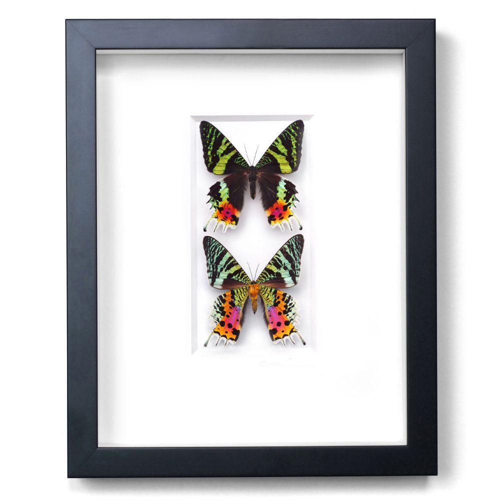 11 x 14 Sunset Moth Duo