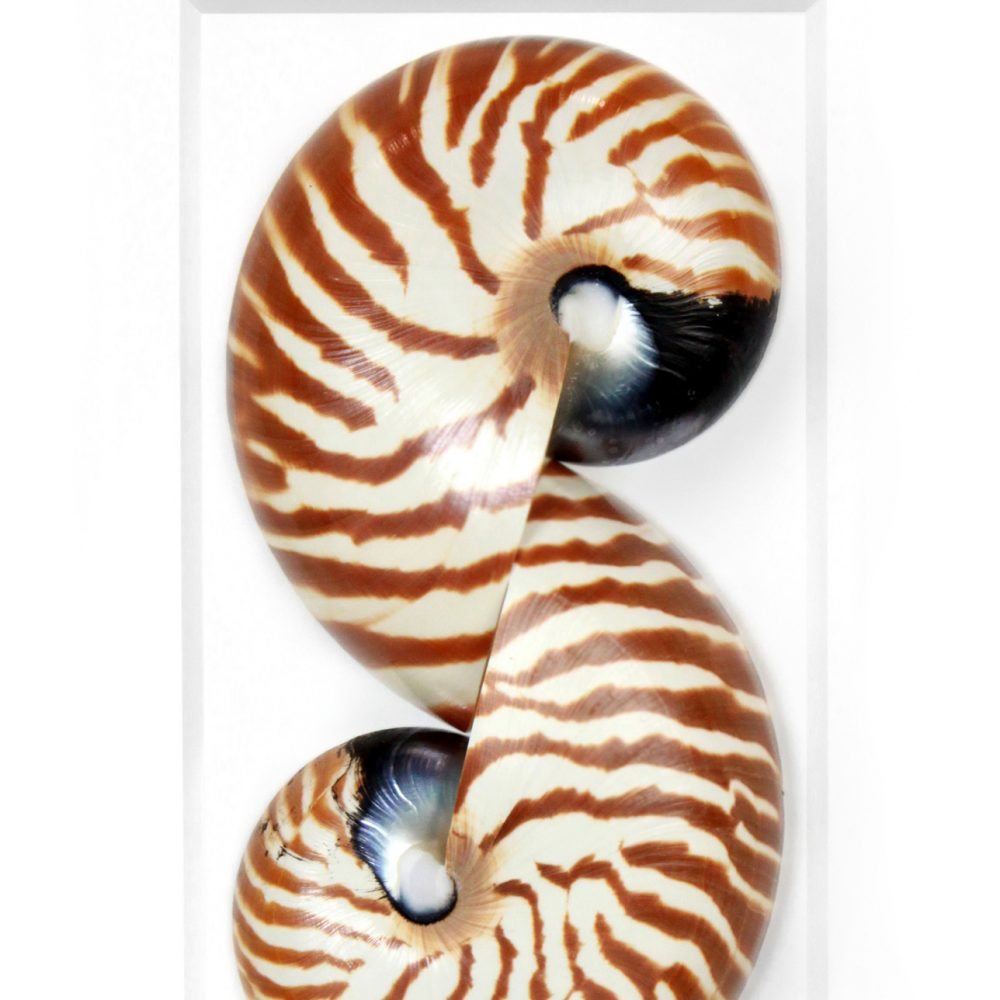 11 x 14 Tiger Nautilus