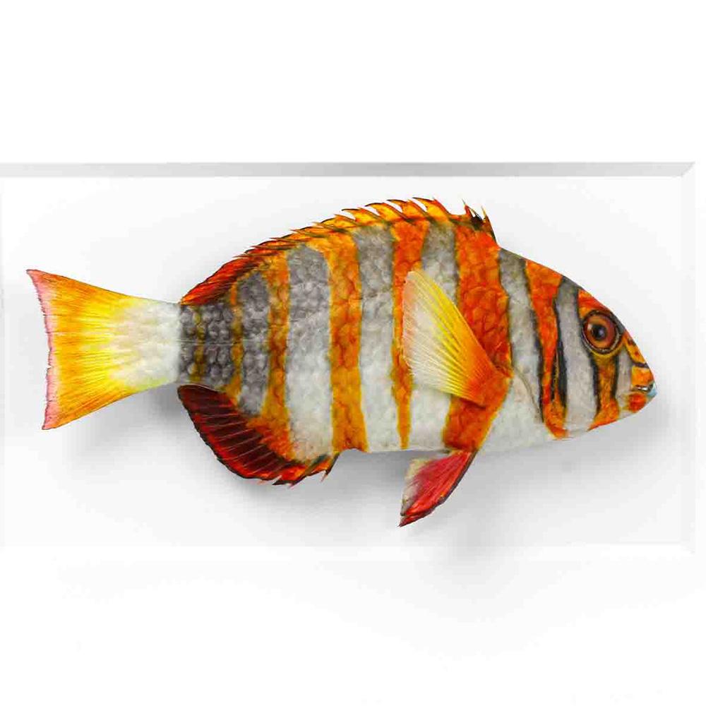 12.5 x 15.5 Tusk Fish