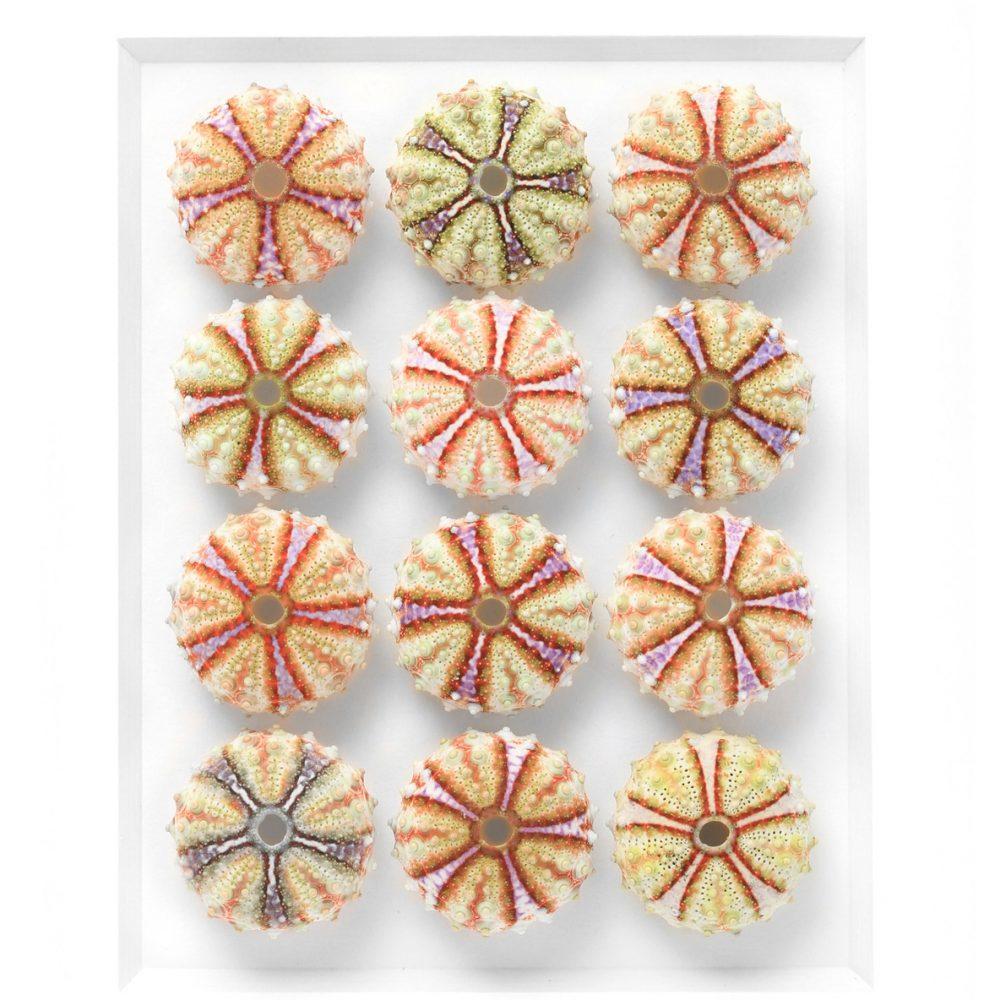 11 x 14 Variegated Urchins