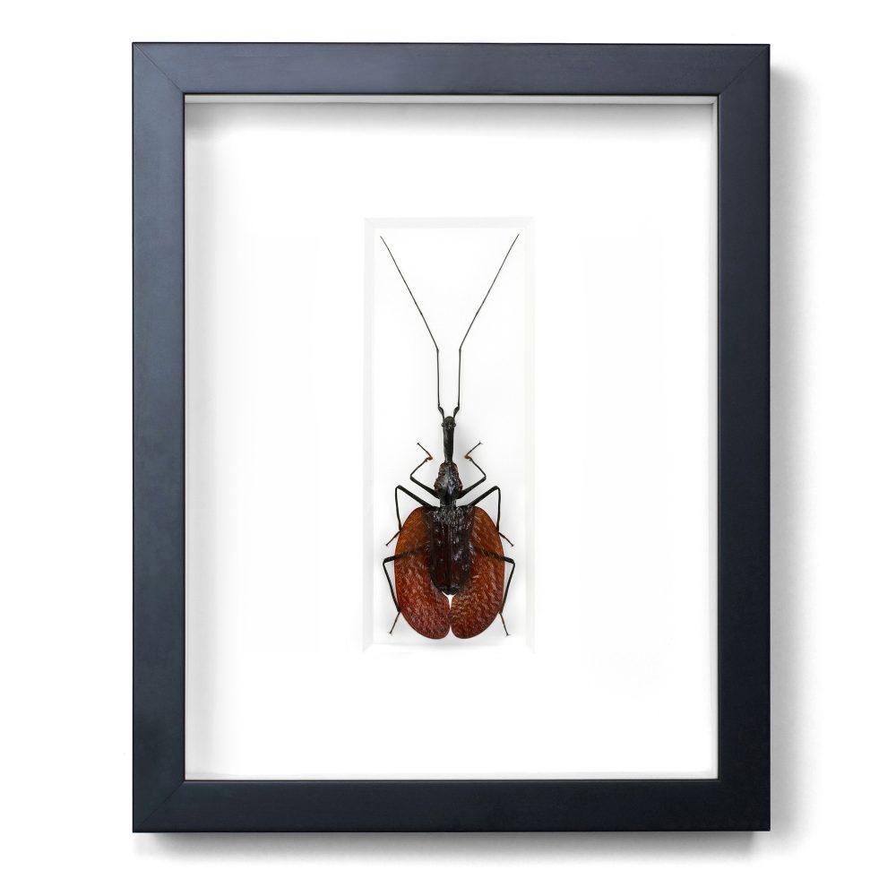 11 x 14 Violin Beetle