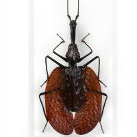 11 x 14 Violin Beetle 2
