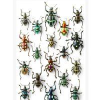 11 x 14 Walking Weevils 2