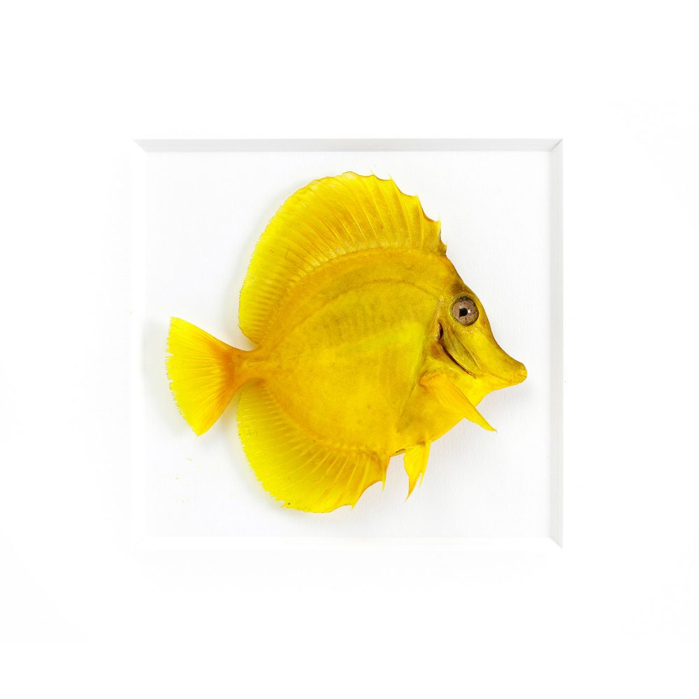 11 x 14 Yellow Tang Fish