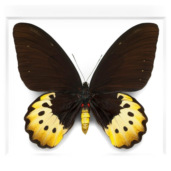 16 x 20 Female Goliath Birdwing in Black