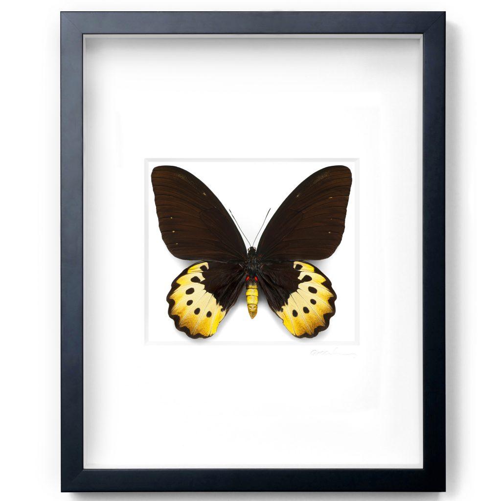 16 x 20 Female Goliath Birdwing in Black