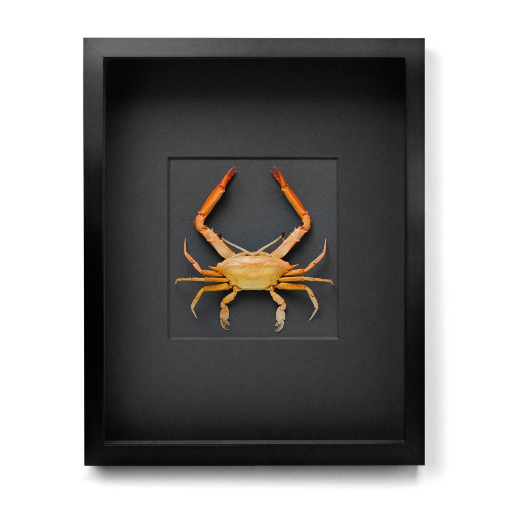 16 x 20 Ocular Crab