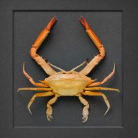 16 x 20 Ocular Crab 2
