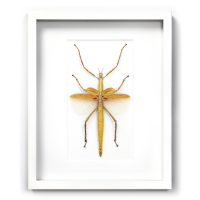 16 x 20 Orange Versi Walking Stick Insect Framed Pheromone