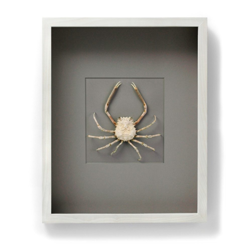16 x 20 Snow Spider Crab