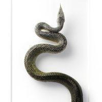 16 x 40 Rhino Rat Snake 2
