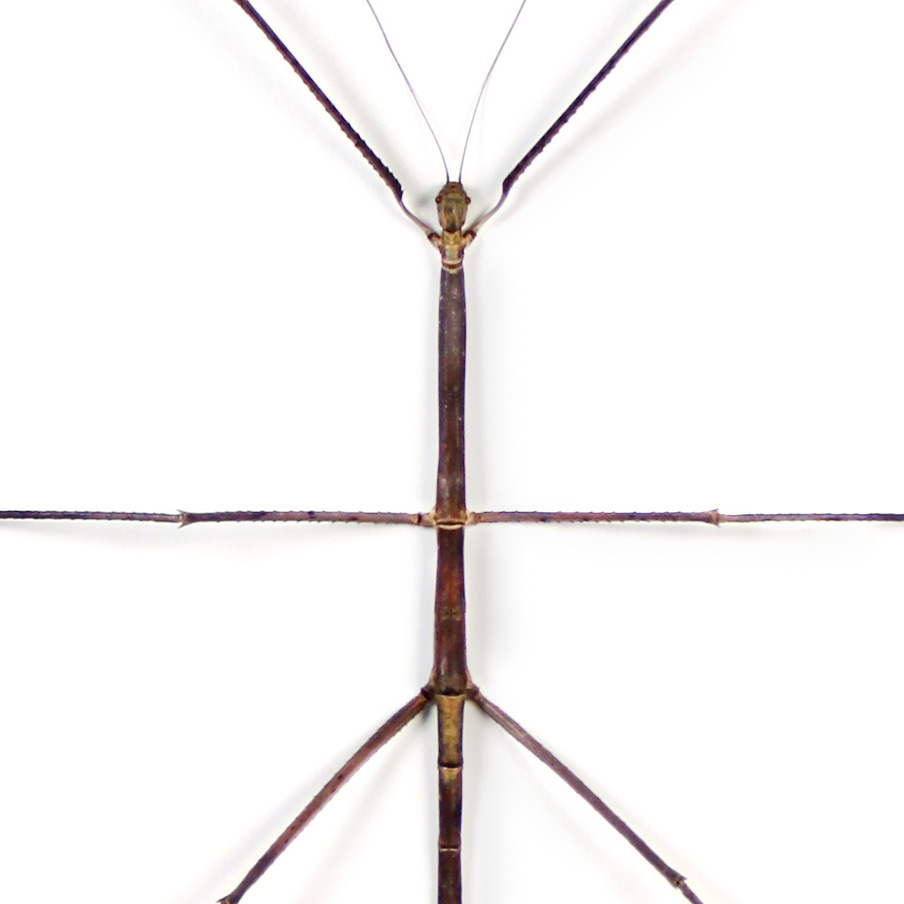 20 x 24 Bamboo Walking Stick