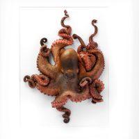20 x 24 Octopus 2