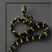 20 x 40 Mangrove Snake 2