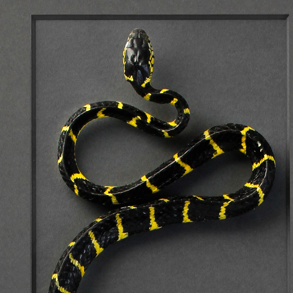 20 x 40 Mangrove Snake