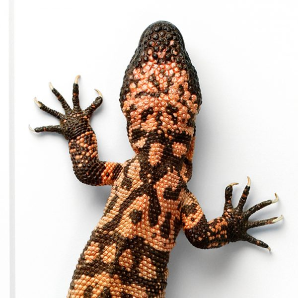 Gila Monster Framed Pheromone