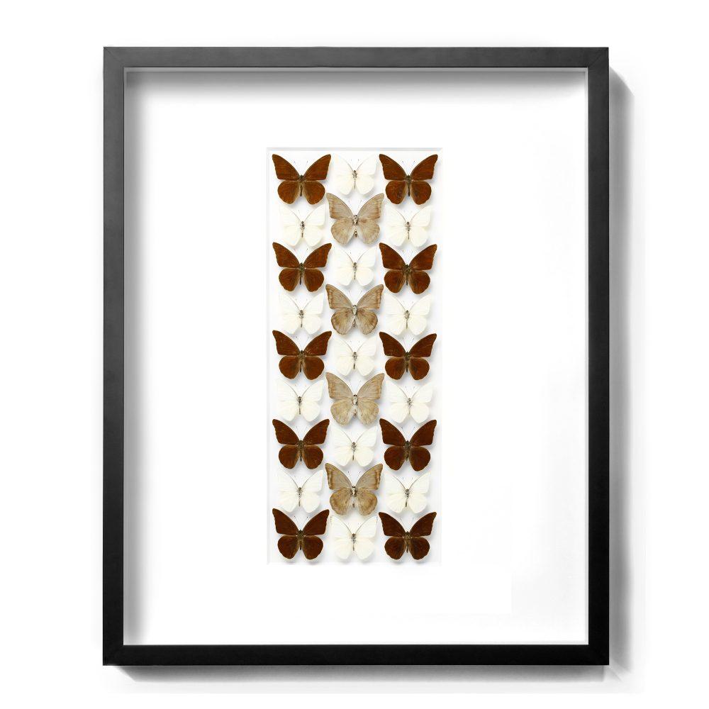 24 x 30 Chocolate Appias - Butterflies