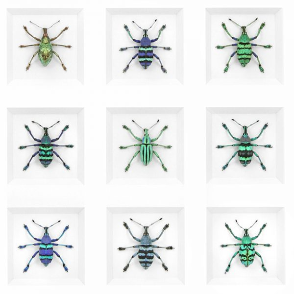 24 x 30 Eupholus Deviation Beetle Group Framed Pheromone