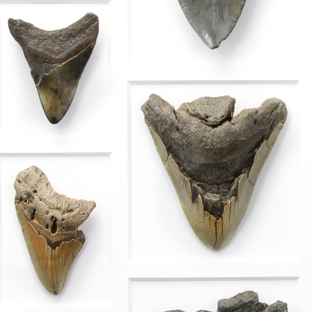 24 x 30 Megalodon Tooth Mosaic
