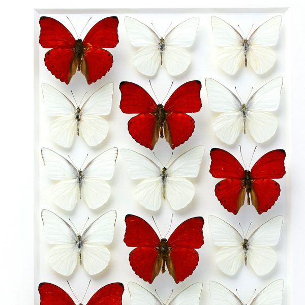 24 x 30 Sangaris Levels - Butterflies