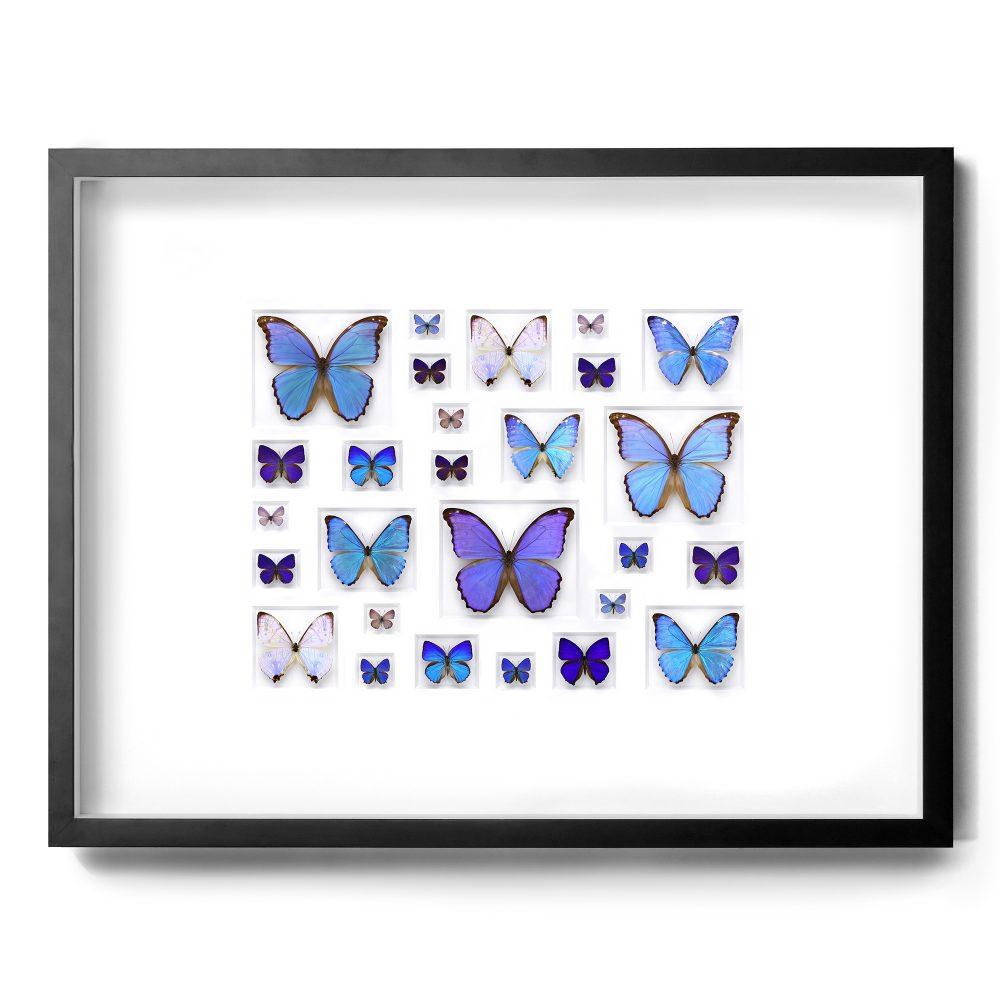 40 x 30 Cerulean Butterflies