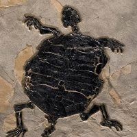 Turtle Fossil Mural 2