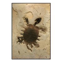 Turtle Trionyx Softshell Fossil Mural
