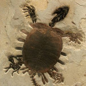 Turtle Trionyx Softshell Fossil Mural