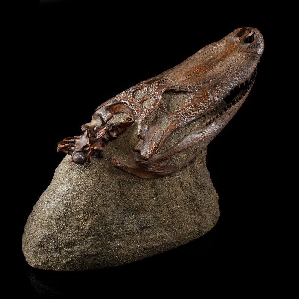 Fossilized Alligator Skull on Consolidated Matrix