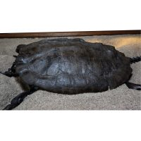 Fossil Alligator Snapping Turtle 5