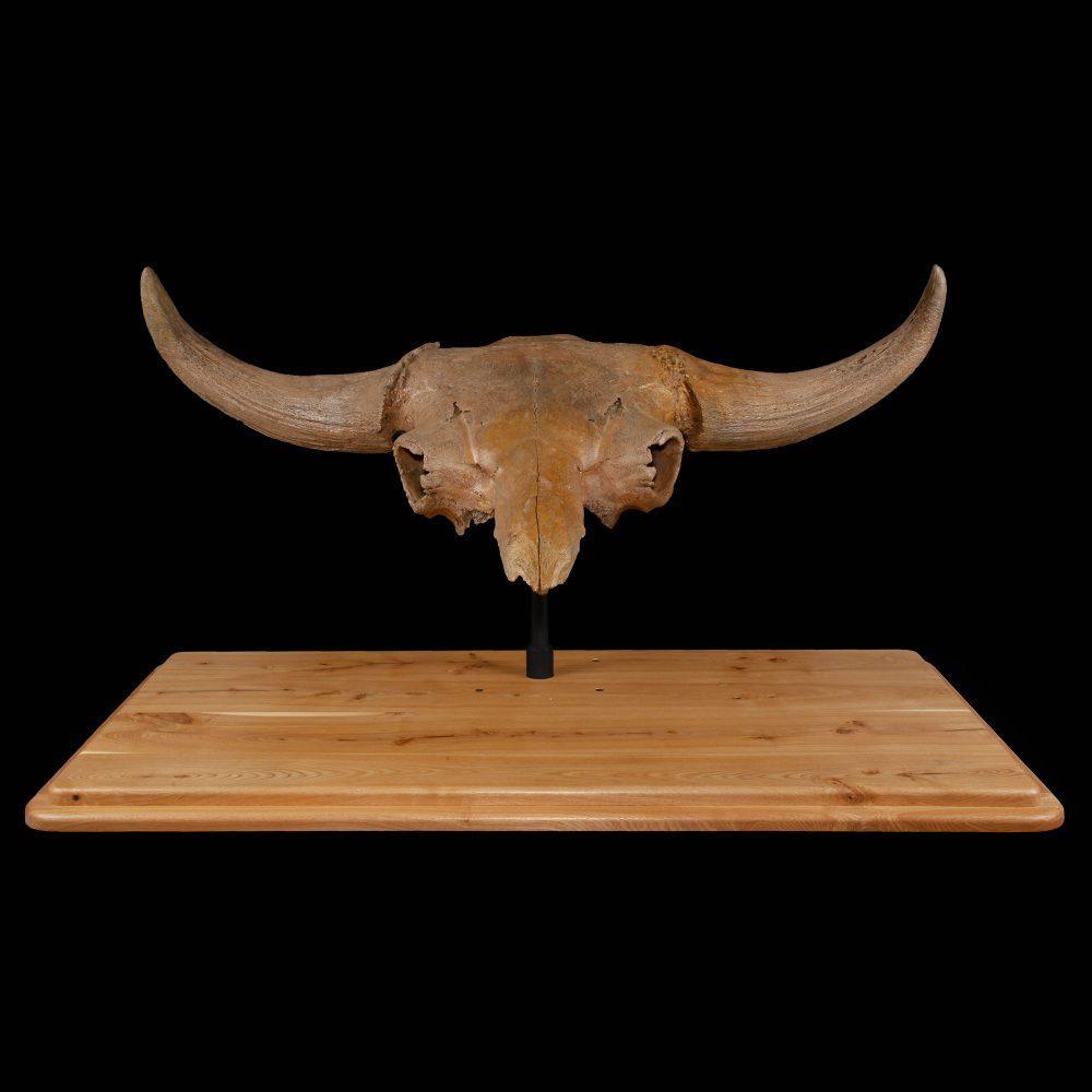 Fossilized Bison Priscus Skull