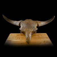 Fossilized Bison Priscus Skull 4