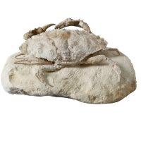 Neptunus (Portunus) Crab