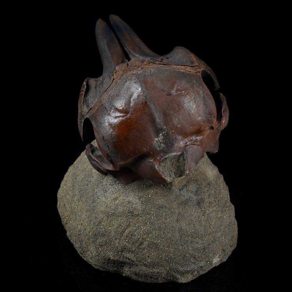Dolphin Skull Fossil