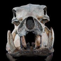 Hippopotamus Lemerlei Fossil Skull 4