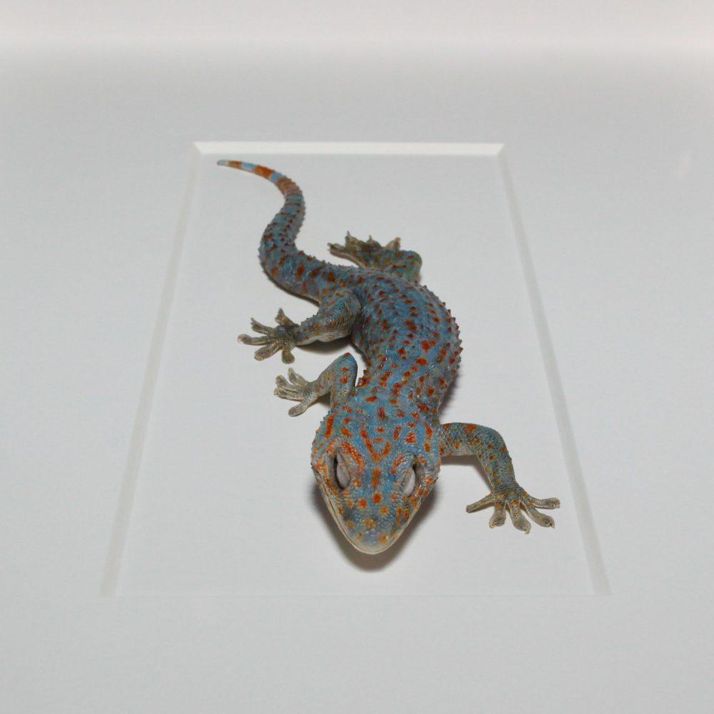 13 x 19 Tokay Gecko