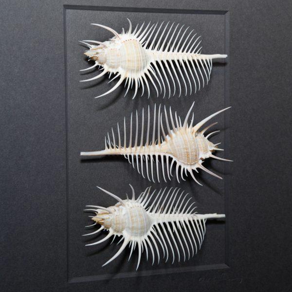 11 x 14 Pectin Comb Study