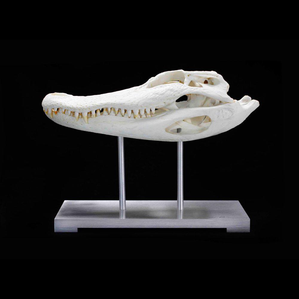 Alligator Skull Pedestal