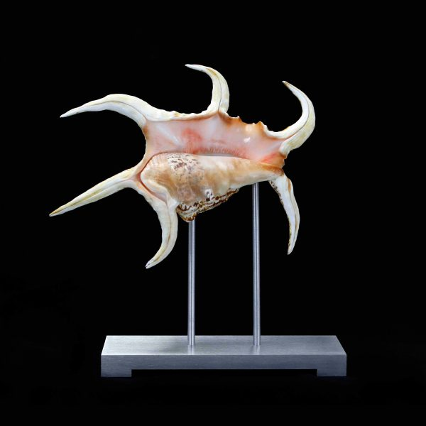 Spider Conch Pedestal on Silver