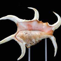Spider Conch Pedestal on Silver 2