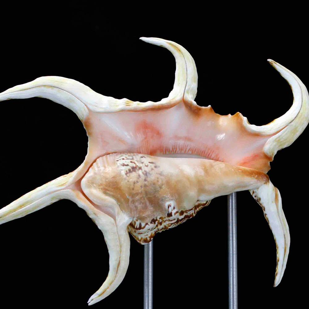 Spider Conch Pedestal on Silver