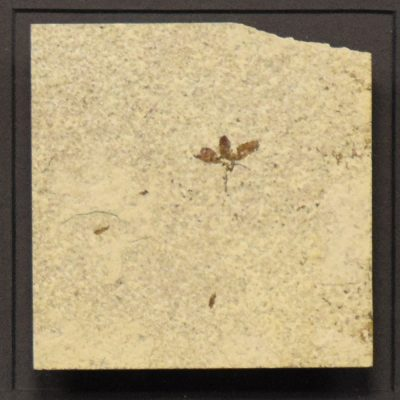 Fossil Shadow Box 171004603